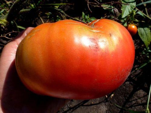 Выросший томат