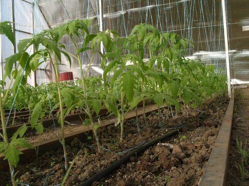 Подвязанные помидоры в теплице
