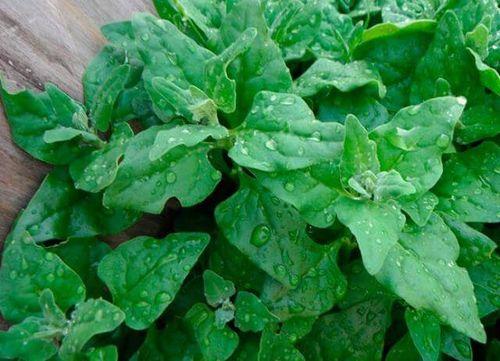 Способы выращивания шпината в разных условиях