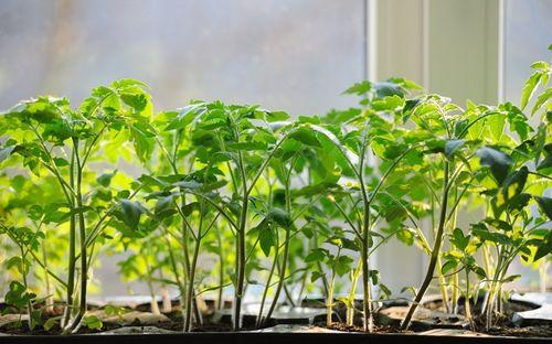 Почему вытянулась рассада помидор: основные причины