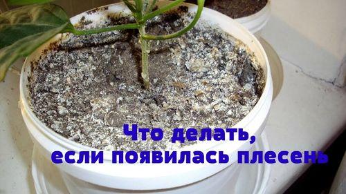 Причины, почему земля в рассаде покрылась налетом и плесенью